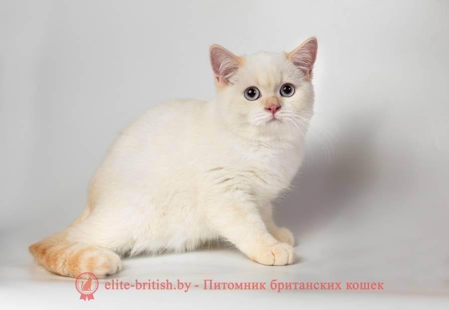 Стандартные и редкие окрасы британских кошек