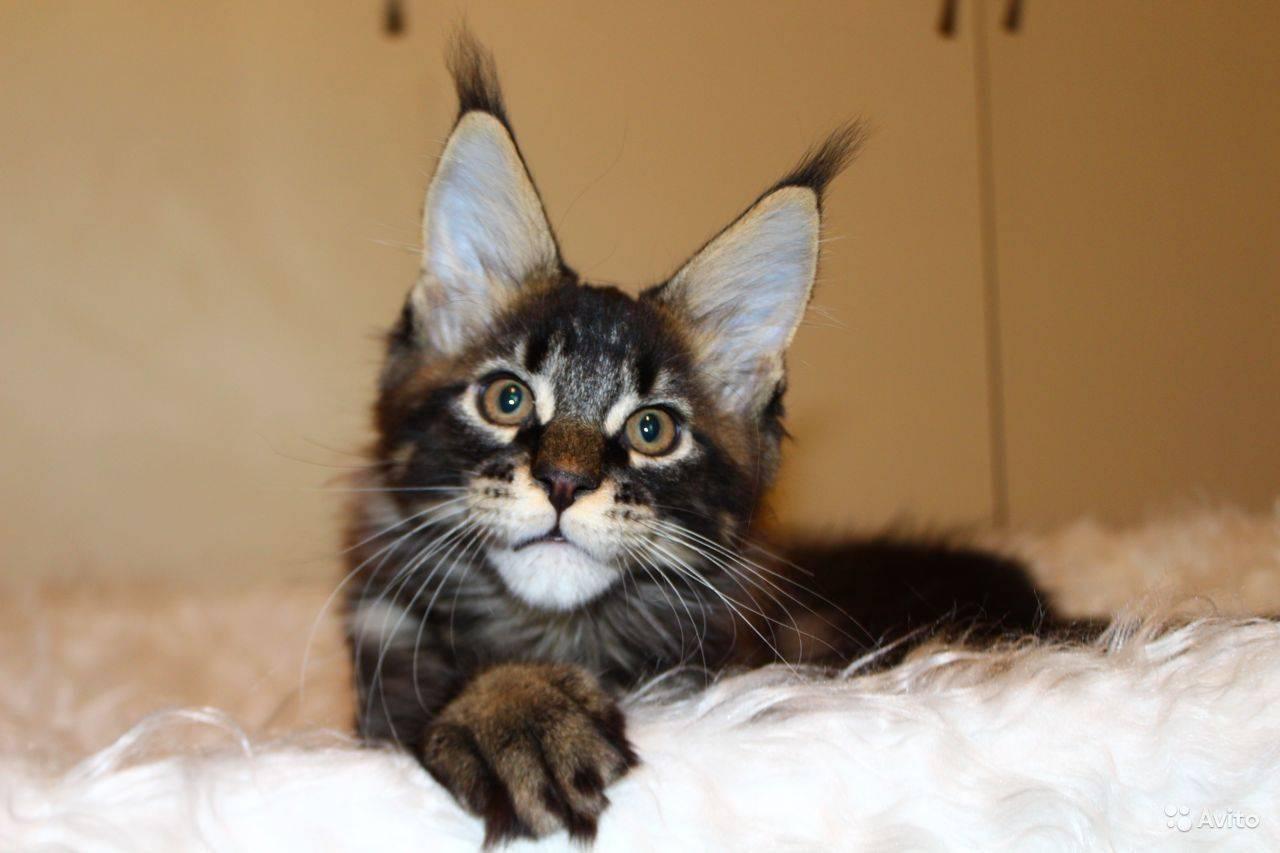 Залысины за ушами у мейн куна | my darling cats