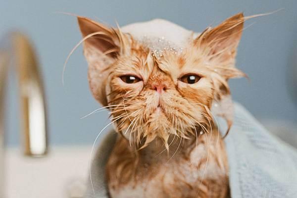 Можно ли кошку сушить феном. как высушить кота после купания. видео: как помыть кота, если он не любит воду