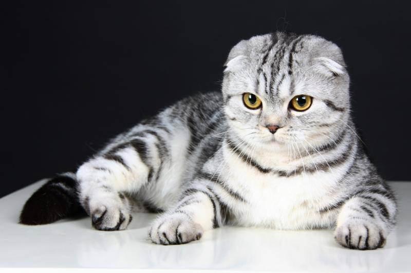 Когда у шотландских котят опускаются уши — новорожденный вислоухий котенок фото