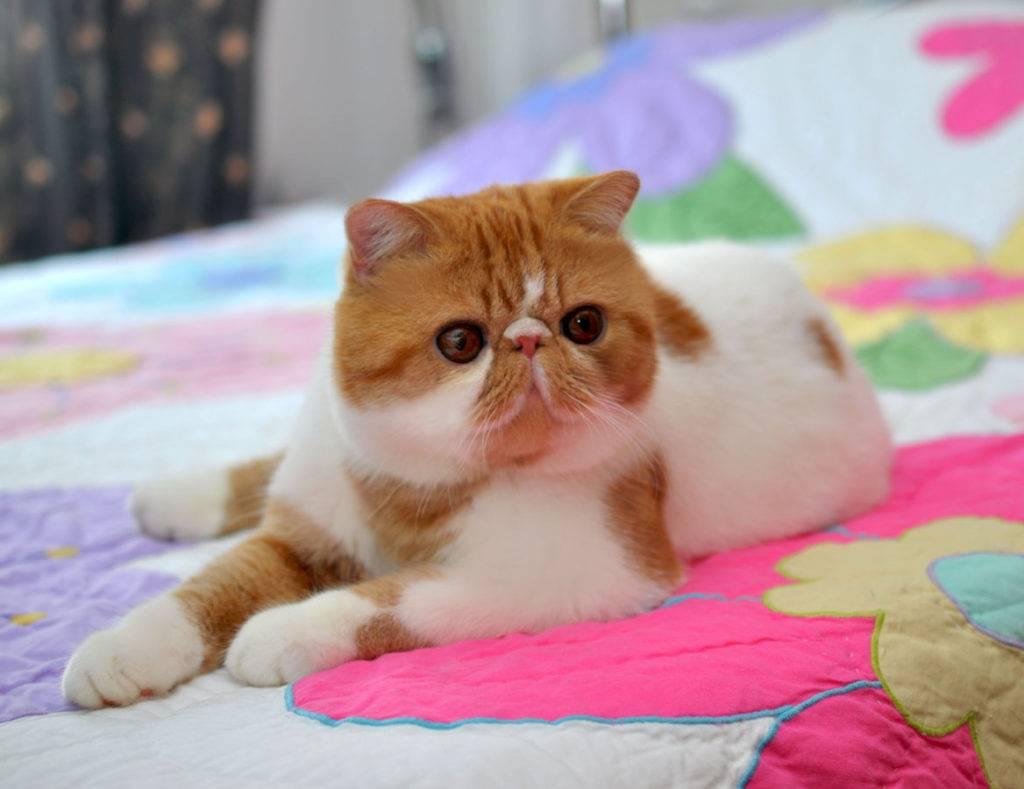 Коты экзоты: описание породы и фото короткошёрстной кошки