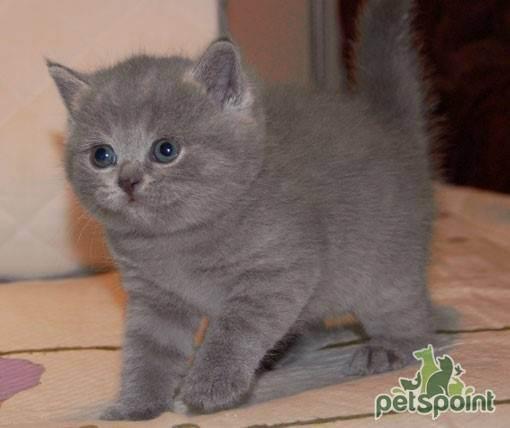Кормление британской кошки – миркошек.рф
