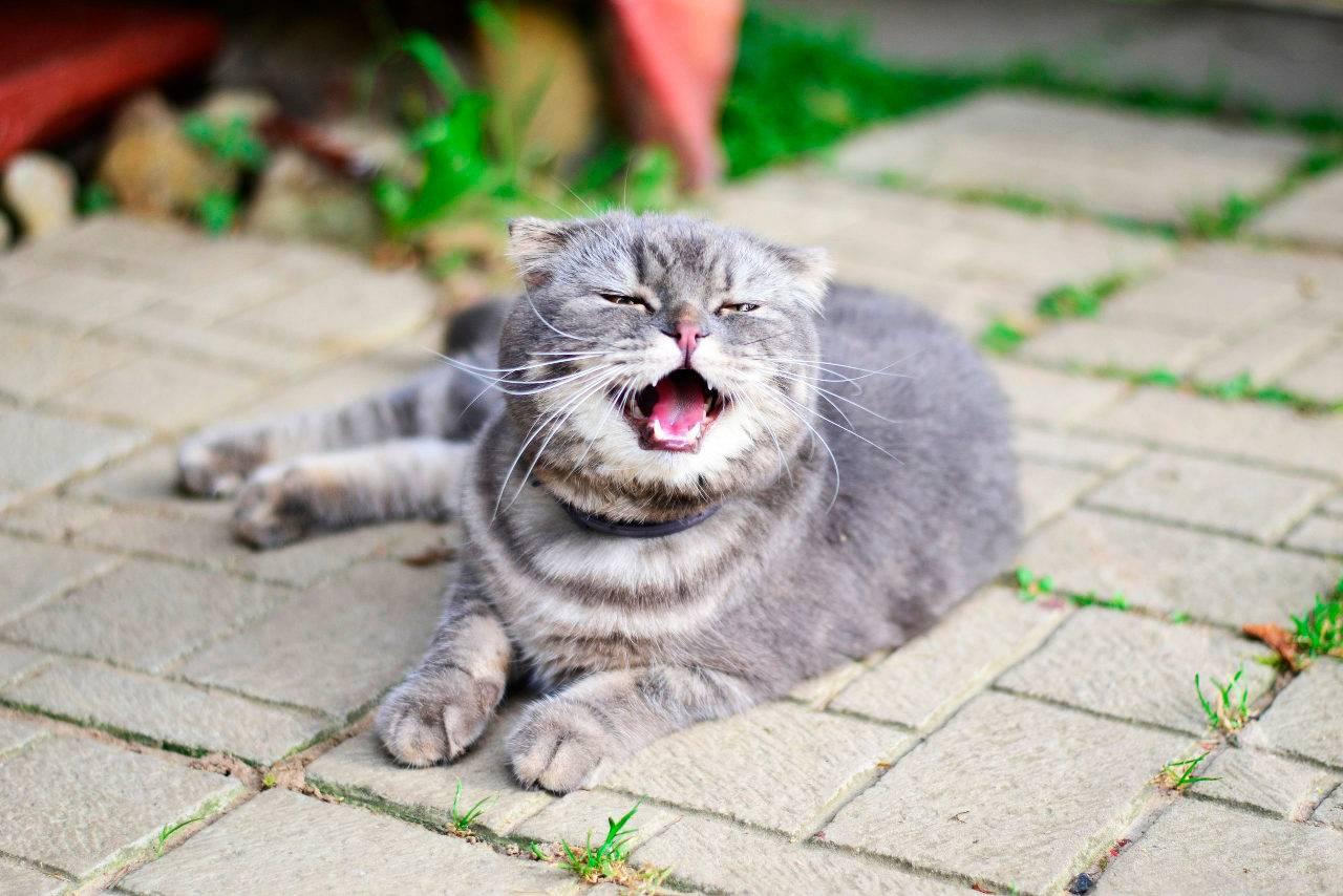Почему кошка кашляет, как будто подавилась, и что с этим делать?