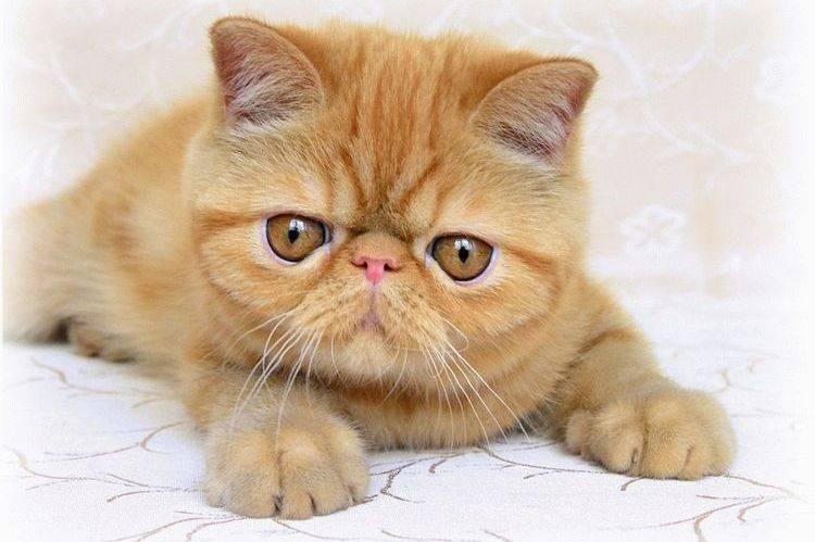 Экзотическая кошка: плюшевый медвежонок с дружелюбным характером