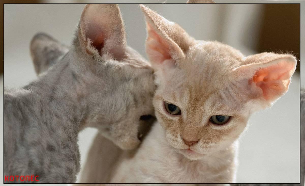 Топ-6 пород кошек, которые не линяют топ-6 пород кошек, которые не линяют