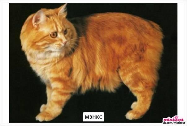Кимрик — описание породы и характер кошки
