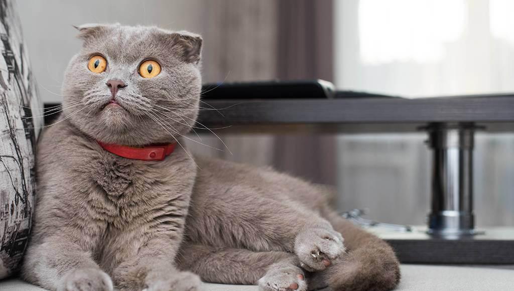 Отличия характера британцев и шотландцев - стр. 2 - запись пользователя юлия (squoria) в сообществе домашние животные в категории кошки. болезни, прививки, советы по уходу - babyblog.ru