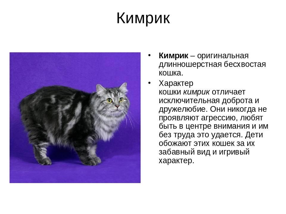 Кимрик (кимрийская кошка) — описание породы кошек