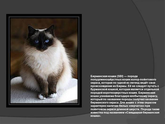 Священная бирма: кошка, которой поклонялись монахи