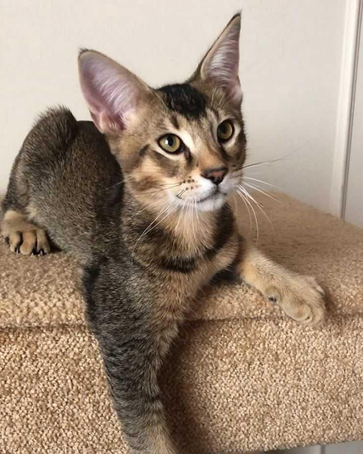 Бенгальские кошки - фото и описание особенностей породы