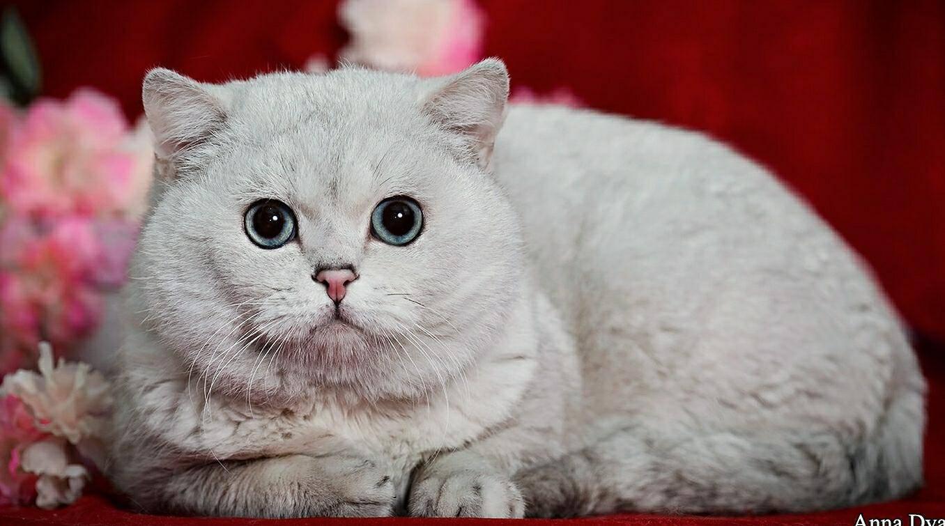 Внешний вид, характер и уход за кошкой британская шиншилла