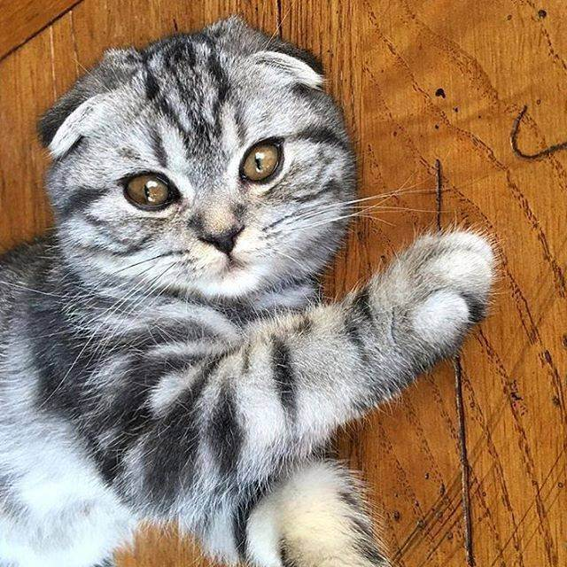 Вес шотландского котенка по месяцам