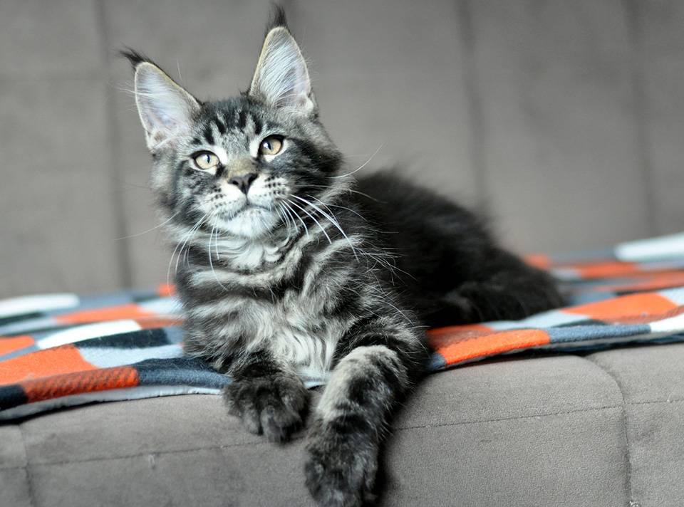 Все окрасы мейн-кунов: фото кошек с описанием, таблица, редкие окрасы
