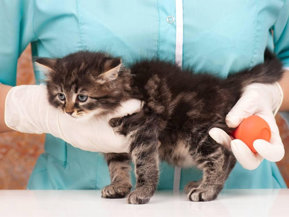 Цистит у кошки: лечение, симптомы, причины, препараты | zoosecrets
