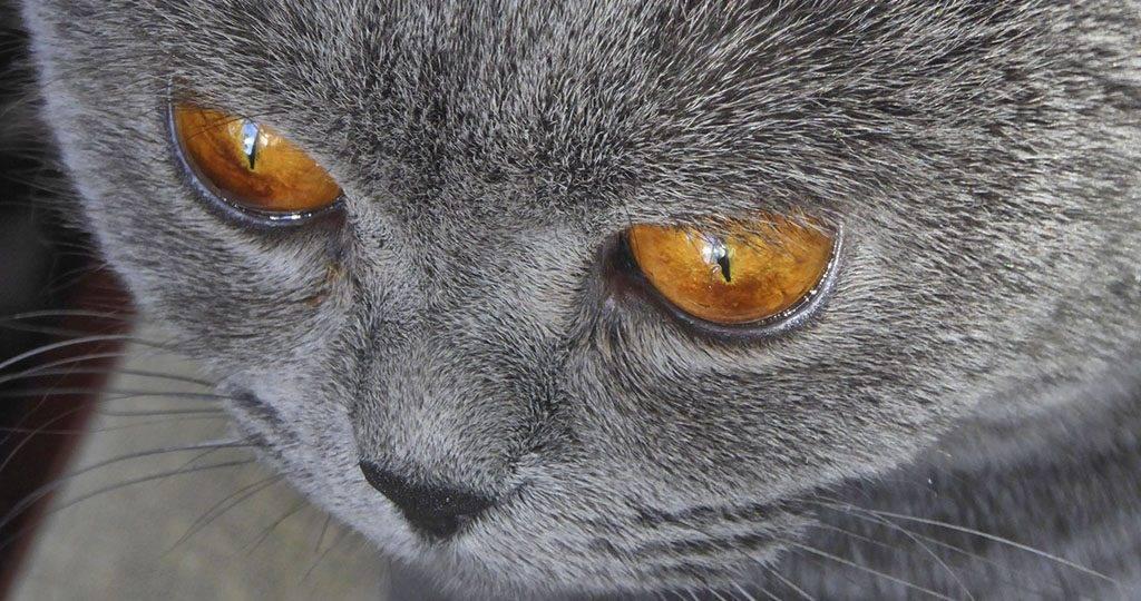 Аденома третьего века у кошки: причины развития, первые признаки, методы лечения, удаление третьего века, уход и профилактика за глазами кошки