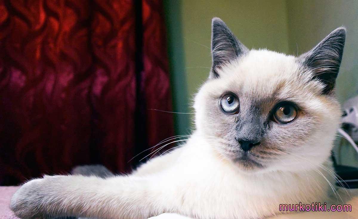Окрас вислоухих кошек фото и описание: рассмотрим все нюансы