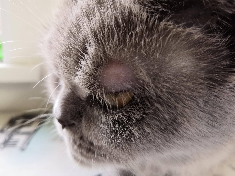 Залысины у кошки возле ушей - zhivomag
