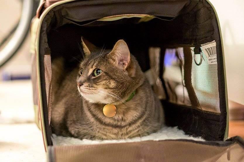 Как перевозить кошек в поезде, перевозка кота в самолете, перевозка кошек в машине, вывоз кошки за границу, правила провоза | кошки - кто они?