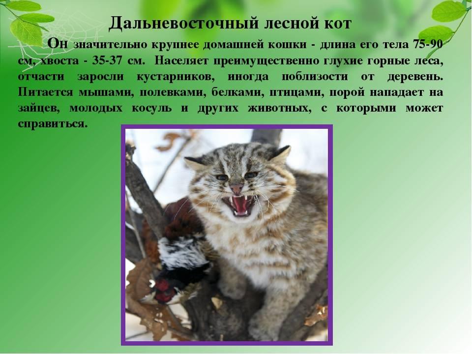 Амурский лесной кот (дальневосточный, леопардовый): описание породы, образ жизни и характер