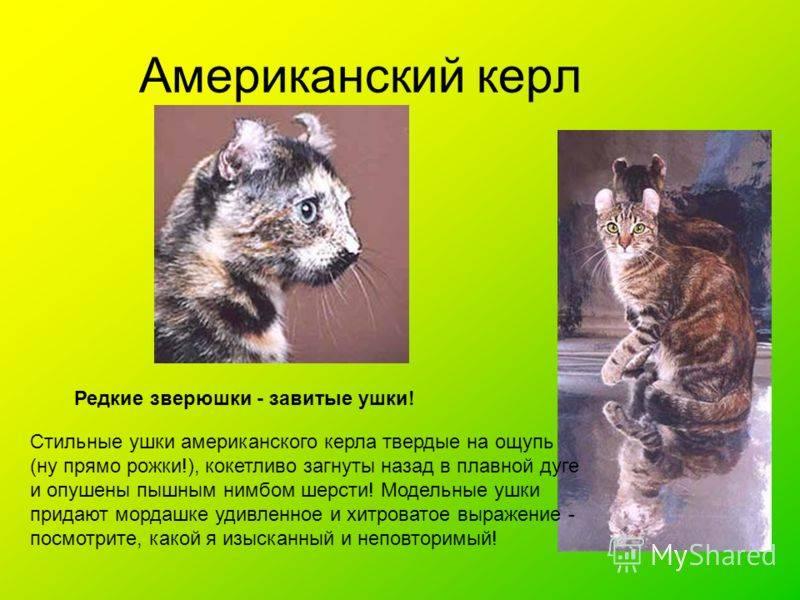 Описание и особенности характера кошек породы американский керл, уход за ними