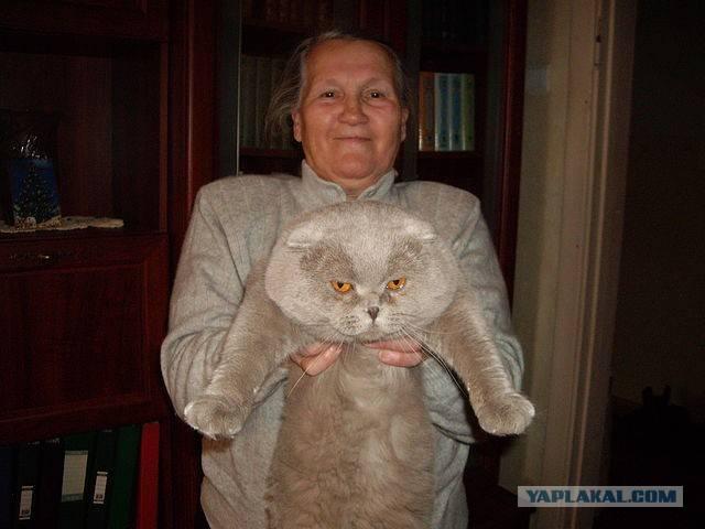 До какого возраста растут коты и кошки британцы