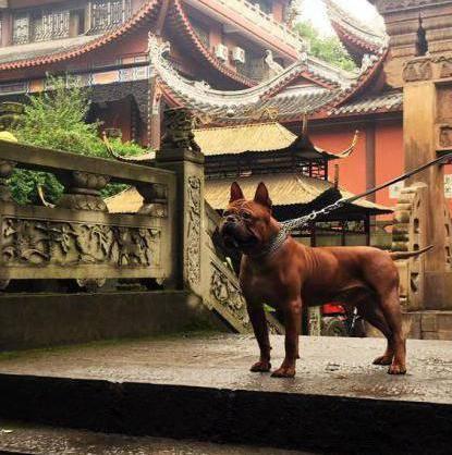 Чунцин: описание китайской породы собак с фото