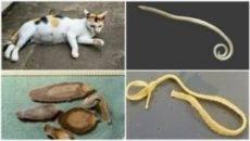 Гельминты кошек - какие существуют, признаки и методы лечения