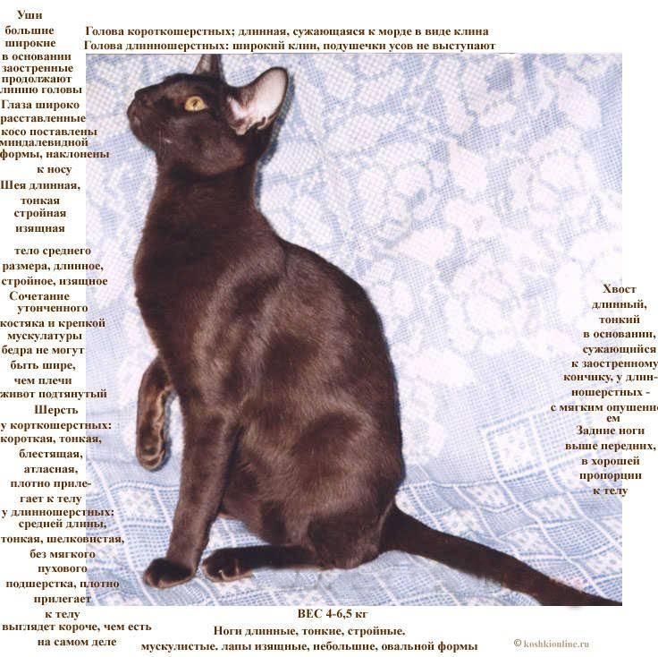 Ориентальная кошка: фото и описание породы, характер ориенталов, особенности содержания