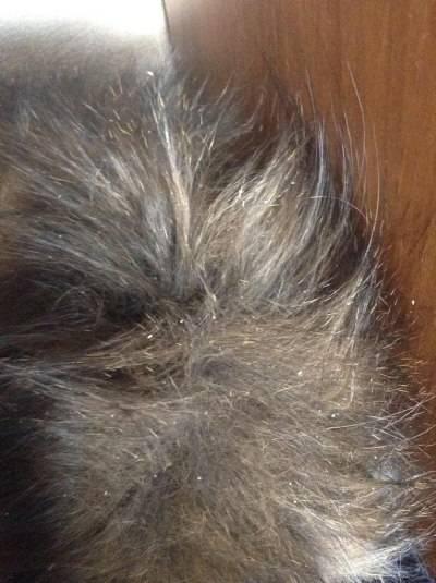 Перхоть у кошки: на спине, у хвоста, причины и лечение