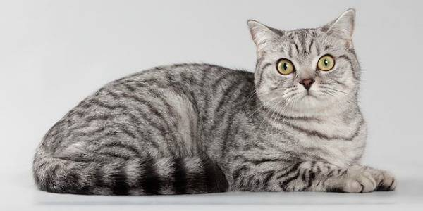 "Окрас ""вискас"": порода кошек, снимающихся в рекламе корма ""Whiskas"", цвет шерсти и рисунок на шубке"