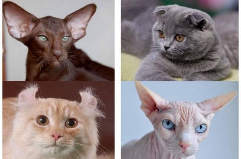 Как определить породу кошки?