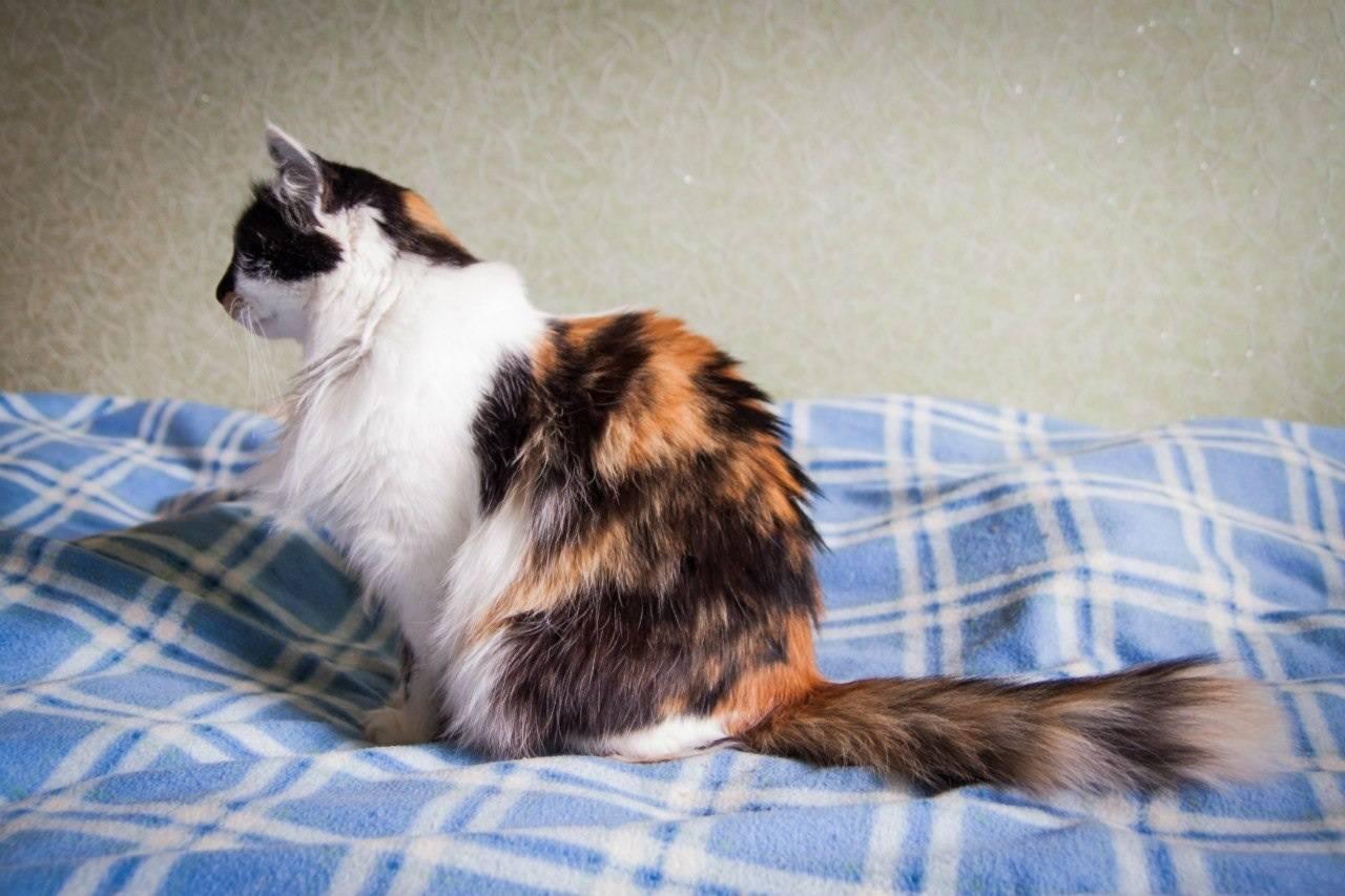 Загадка трехцветной кошки: описание окраса, свойства генетики, народные приметы и поверья