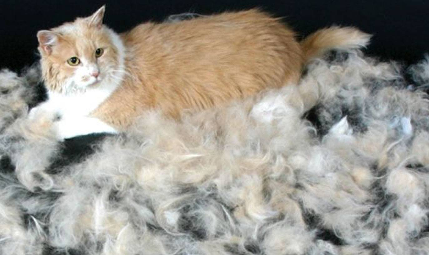Линька у кошек: когда бывает в первый раз у котят, сколько времени длится и как часто линяют коты?