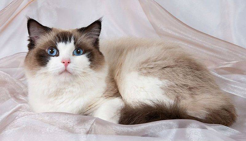 История породы кошек рэгдолл