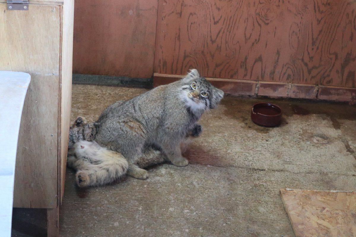 Кот манул в домашних условиях