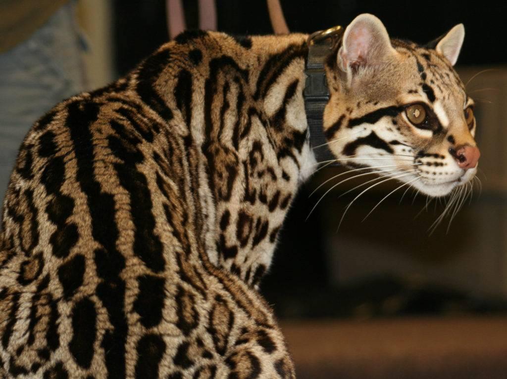 Леопард: 120 фото и видео описание жизни в дикой природе кошки из красной книги
