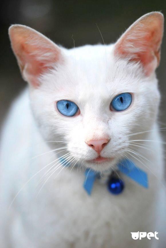 Кошки с зелеными глазами: список пород с описанием