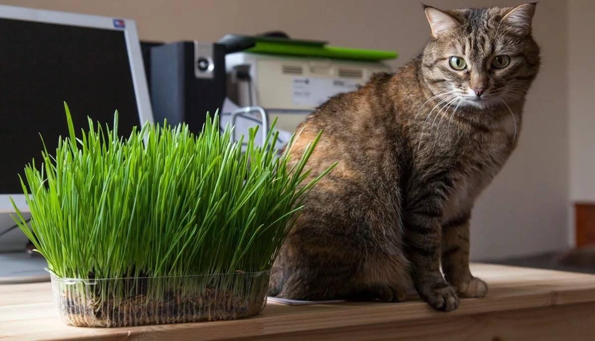 Трава для кошек. зачем трава кошкам? выращивание травы для кошек | животный мир