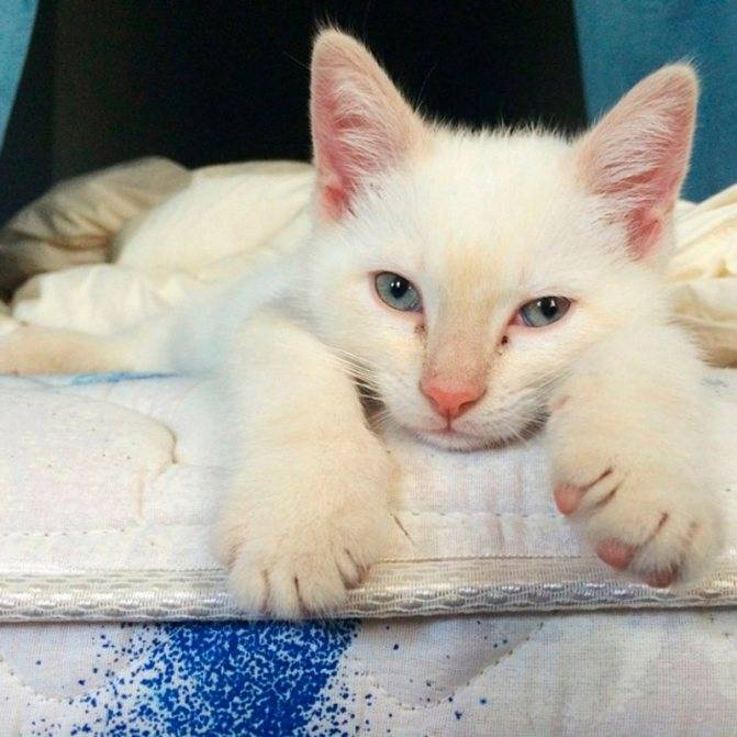 Что должен знать хозяин о кошке-альбиносе