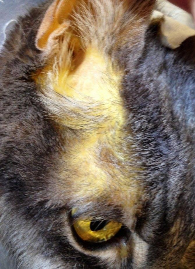Болезни печени у кошек лечение шансы выжить