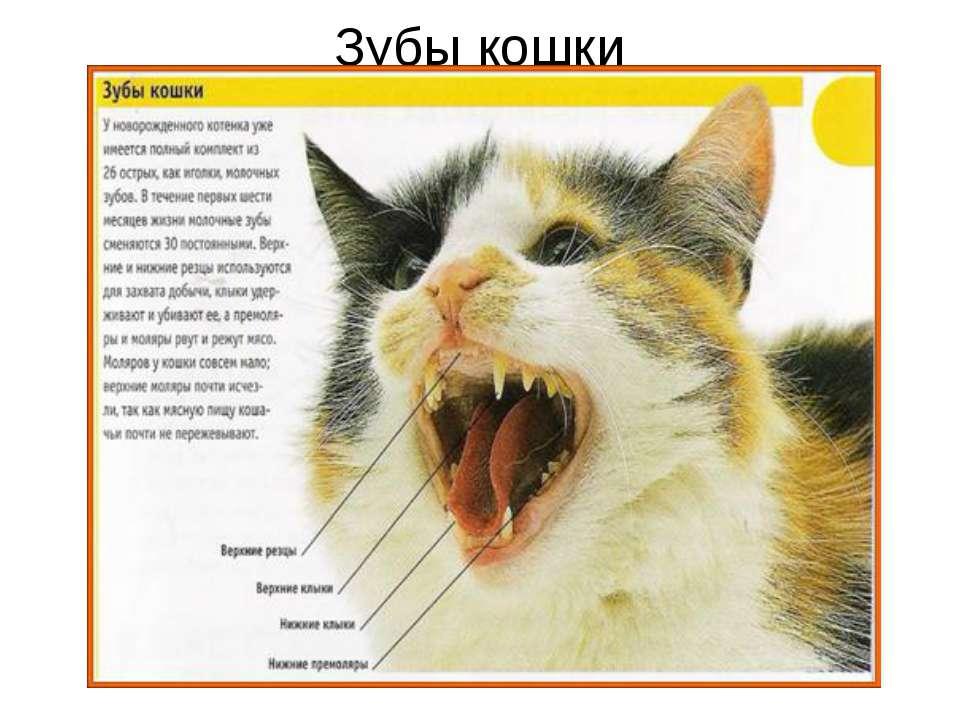 Зубы у кошек - строение, анатомия, фото - сайт о домашних питомцах
