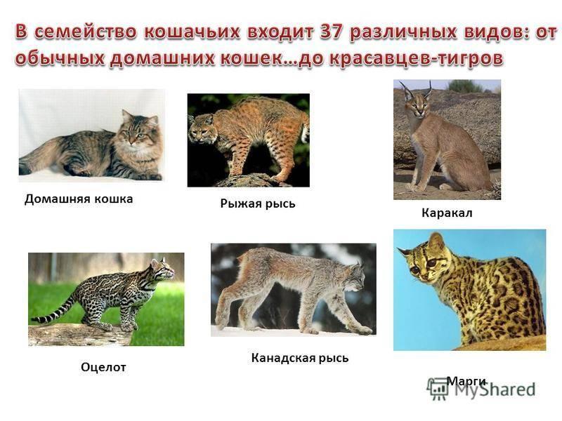 Дикие кошки | фото и названия пород, в природе