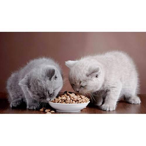 Чем кормить британских котов?