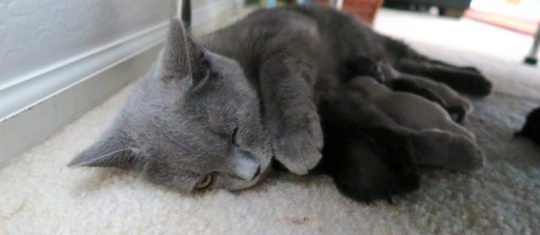 Кошка после родов беспокойная и мяукает: что делать?