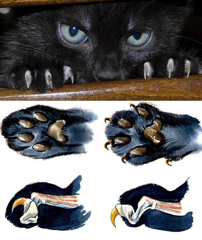 Сколько пальцев у кошки на задних и передних лапах