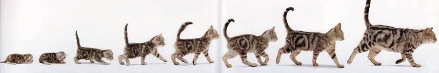 Соотношение возраста кошки и человека — сколько лет кошке по человеческим меркам