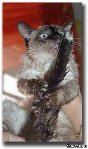 Выставочный груминг для кошек