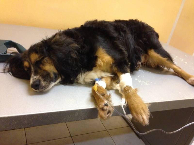 Дирофиляриоз у собак: симптомы, лечение, пути заражения