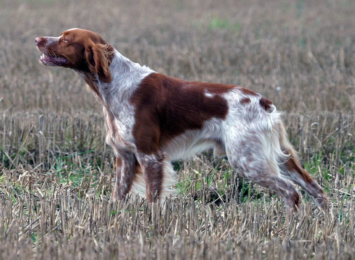 Охотничьи собаки с названиями, фото и описанием пород (ч2)