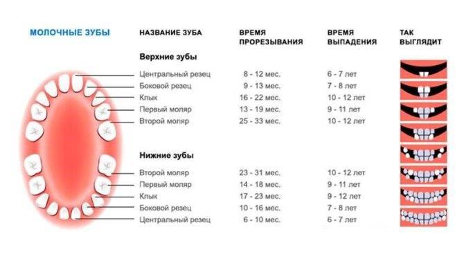 Смена молочных зубов у котят: во сколько месяцев меняются на постоянные